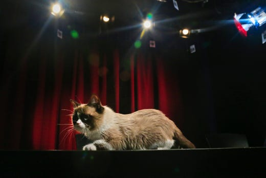 Grumpy Cat, an Internet celebrity cat whose real name is Tardar Sauce, walks on a table during a television interview on Friday April 4, 2014 in New York. Known for her facial expression, her owner Tabatha Bundesen says that Grumpy Cat's permanently grumpy-looking face is due to feline dwarfism.  (AP Photo/Bebeto Matthews) ORG XMIT: NYBM111