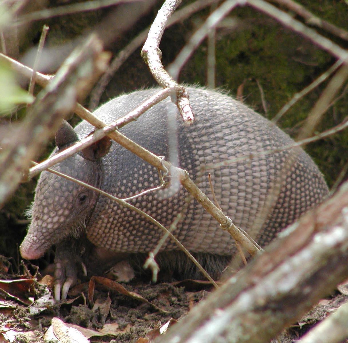 See an armadillo? NC Wildlife biologists want to know