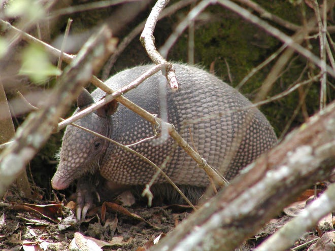 Armadillos have been spotted across North Carolina. If you see one, the state's wildlife biologists want to know.