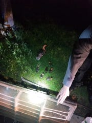 A Westchester County police officer and a Mount Kisco firefighter helped free ducklings from a storm drain Friday.