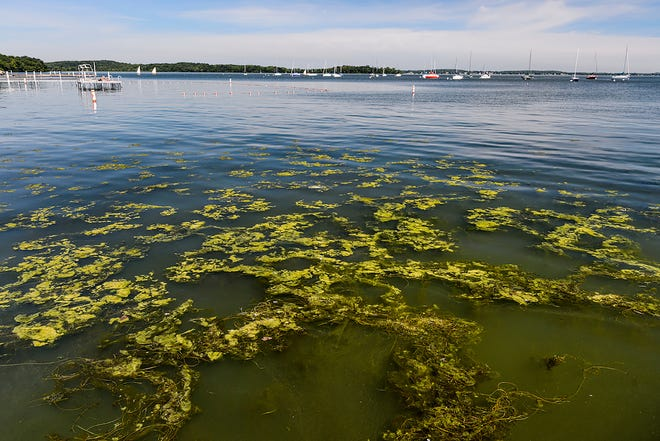 Algae blooms form on the surface of  Lake Mendota near the Memorial Union Terrace at the University of Wisconsin-Madison during hot summer weather on July 3, 2018. Phosphorous runoff its impact on lake health and water quality continue to be a challenge for the City of Madison.