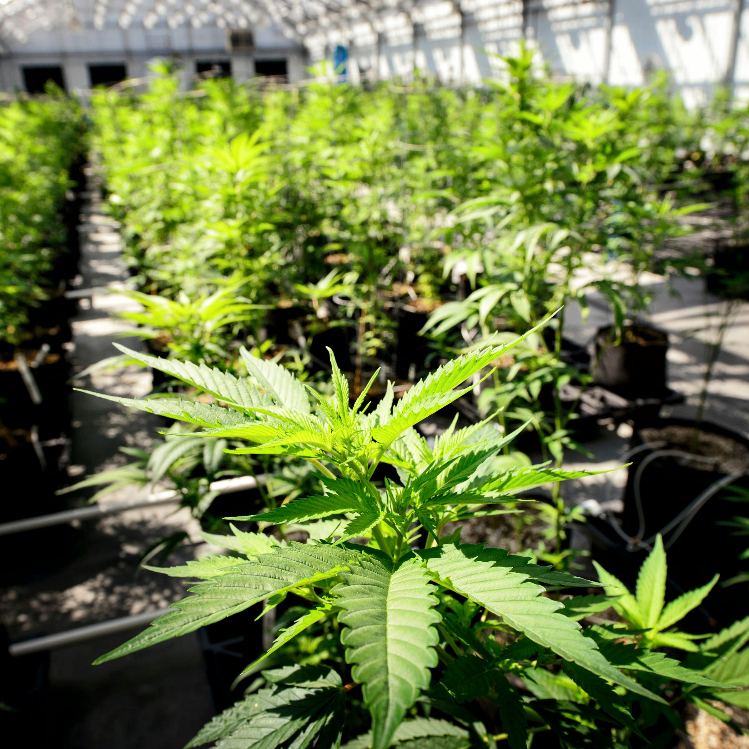Social equity a key issue in cannabis legalization movement