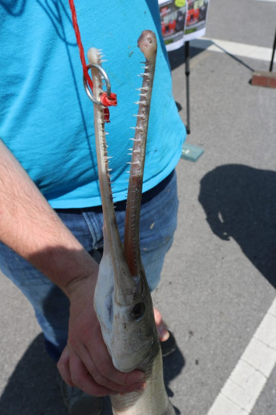 Eric Schultz, of Fremont, reeled in a whopping 42-inch longnose gar out of the Sandusky River on Saturday morning, making it a shoo-in for the longest catch of the day.