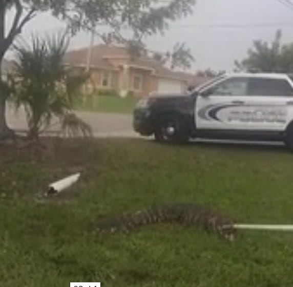 After 'hissing' heard, 7-foot-long alligator pulled from roadside sewer opening in Cape Coral