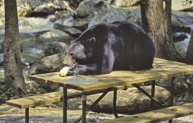A black bear sits on a picnic table eating a jar of mayonnaise at The Chimneys Picnic Area in Great Smoky Mountains National Park in this file photo. Park visitors should always keep food items stored in car trunks or bear-proof canisters.
