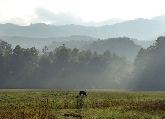 A female elk grazes in the fields of Cataloochee Cove after a brief shower fills the valley with rising fog.