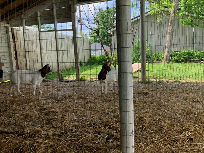 Councilwoman Lana Fairchild was issued a citation for violating city ordinance 505.14 for operating a stockyard. Fairchild houses two goats on her property that are part of her daughter's 4-H project.