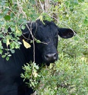 A wayward Brangus bullwas found wandering near Wildcat Run in Estero and on its popular golf course Sunday. Lee County Sheriff's Office Agriculture Unit deputies corralled the bull and he's at their holding area until an owner claims him or he's taken to auction.