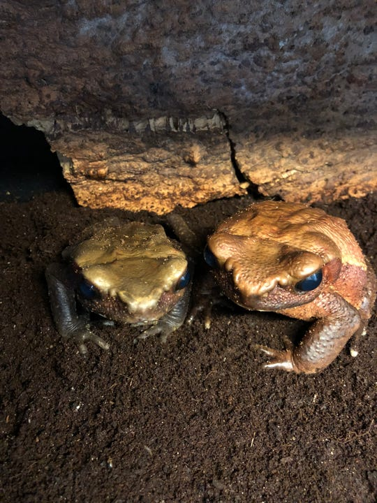 The Memphis Zoo said recently completed research on the reproduction technologies of the smooth-sided toad could help other endangered toad species.