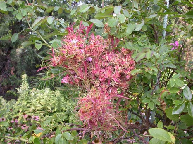 Witches-brooms (rosettes) are a sign a rose is infected with Rose Rosette Disease.