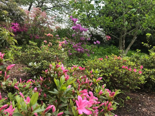 The Azalea Garden at the New Jersey Botanical Garden was filled with colorful blooms and buds on May 20, 2019.