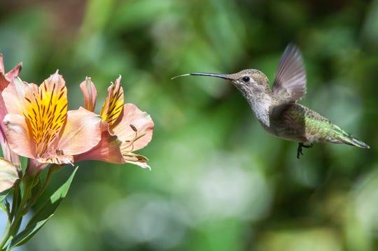 An Anna's hummingbird eats from a flower in a North State garden.