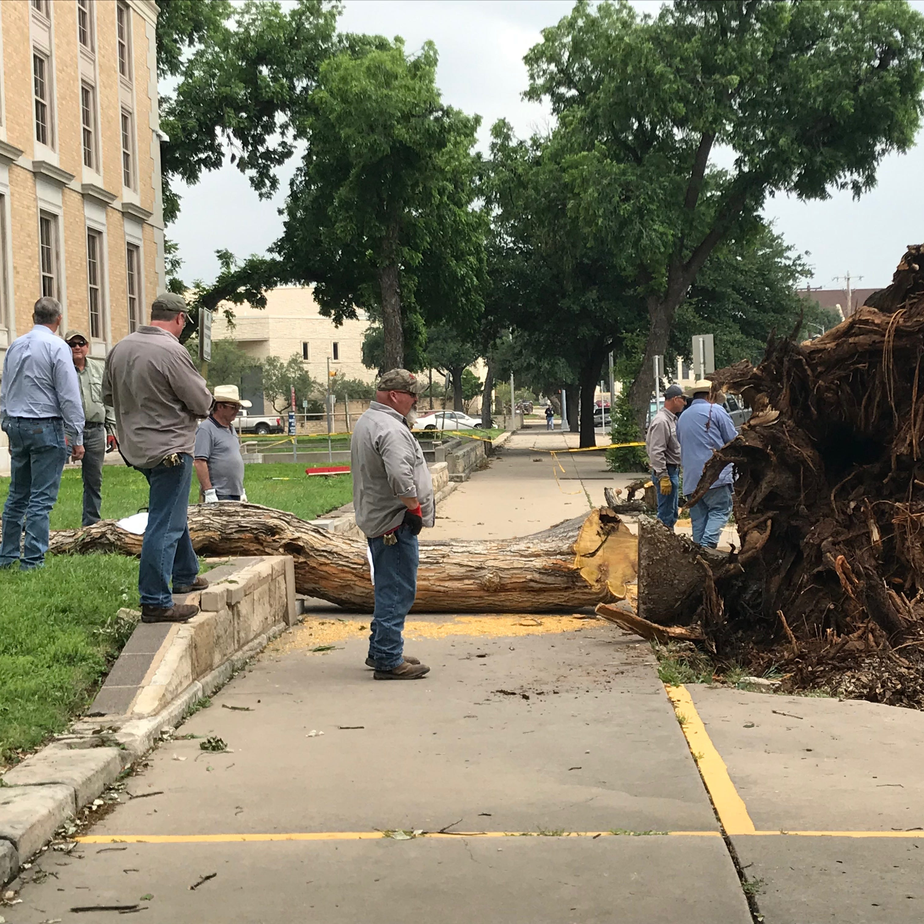 Historic tree toppled by storm not heading to dump