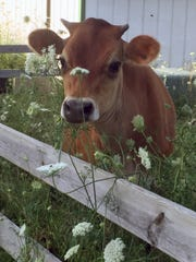 Jersey cows, milked two at a time, are the source of milk for cheese at Highfield Farm Creamery in Walworth.