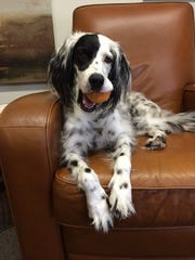 Pepper, a bird dog, is a therapy dog in Carl Mumpower's psychology practice.