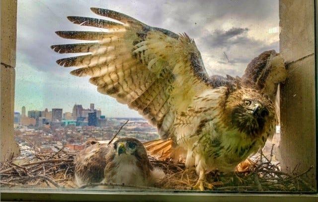 Red-tailed hawks raising babies on Detroit train station ledge
