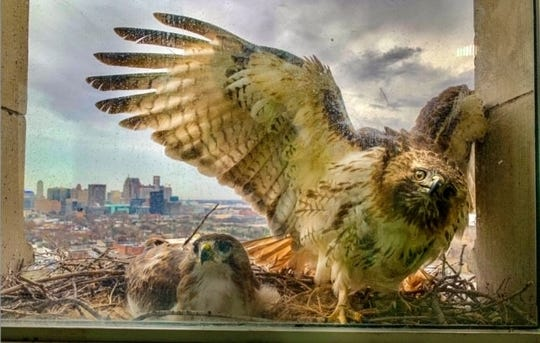 A pair of red-tailed hawks get a lovely view of Detroit from their nesting site, a 12th-story ledge at Michigan Central Station in Corktown.