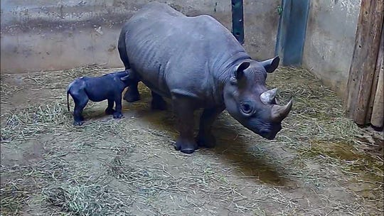Chicago's Lincoln Park Zoo says an eastern black rhinoceros named Kapuki has given birth to a calf.