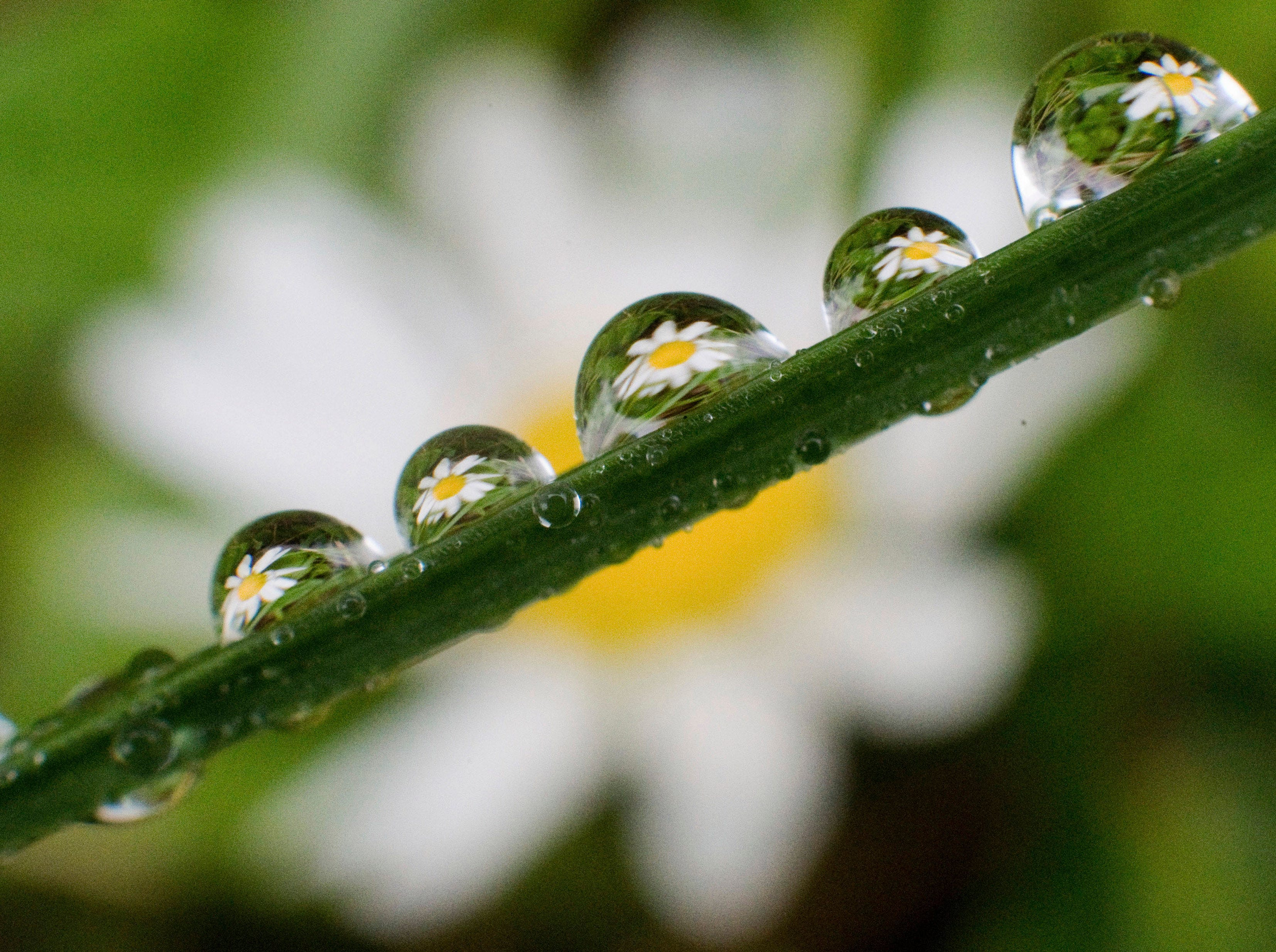 Daisies are seen in rain drops on a blade of grass in Laatzen,  Germany, Tuesday, May 21, 2019.