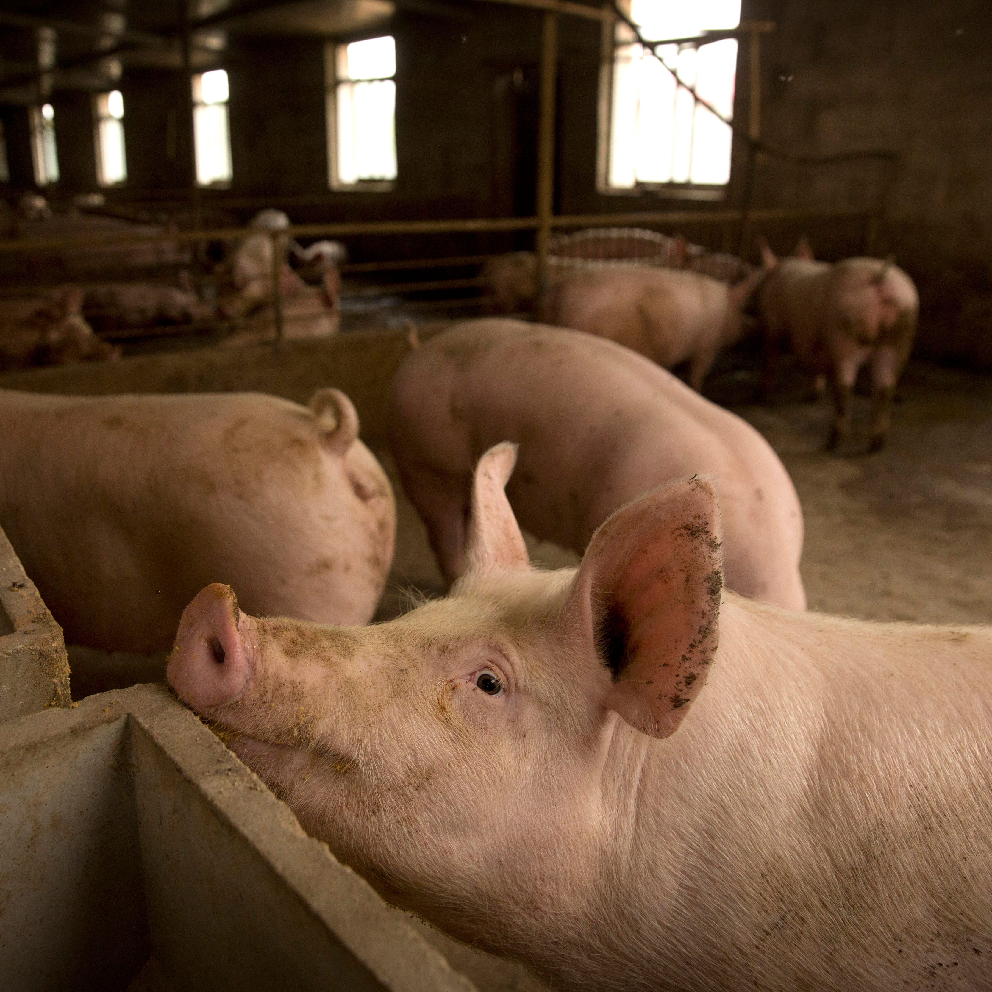 China swine fever outbreak sends pork prices soaring, threatens shortages