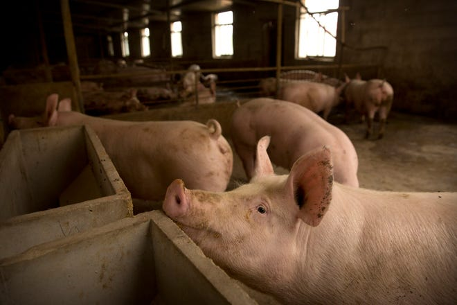 Pigs stand in a barn at a pig farm May 8 in Panggezhuang village in northern China's Hebei province. Pork lovers worldwide are wincing at prices that have jumped by up to 40 percent as China's struggle to stamp out African swine fever in its vast pig herds sends shockwaves through global meat markets.