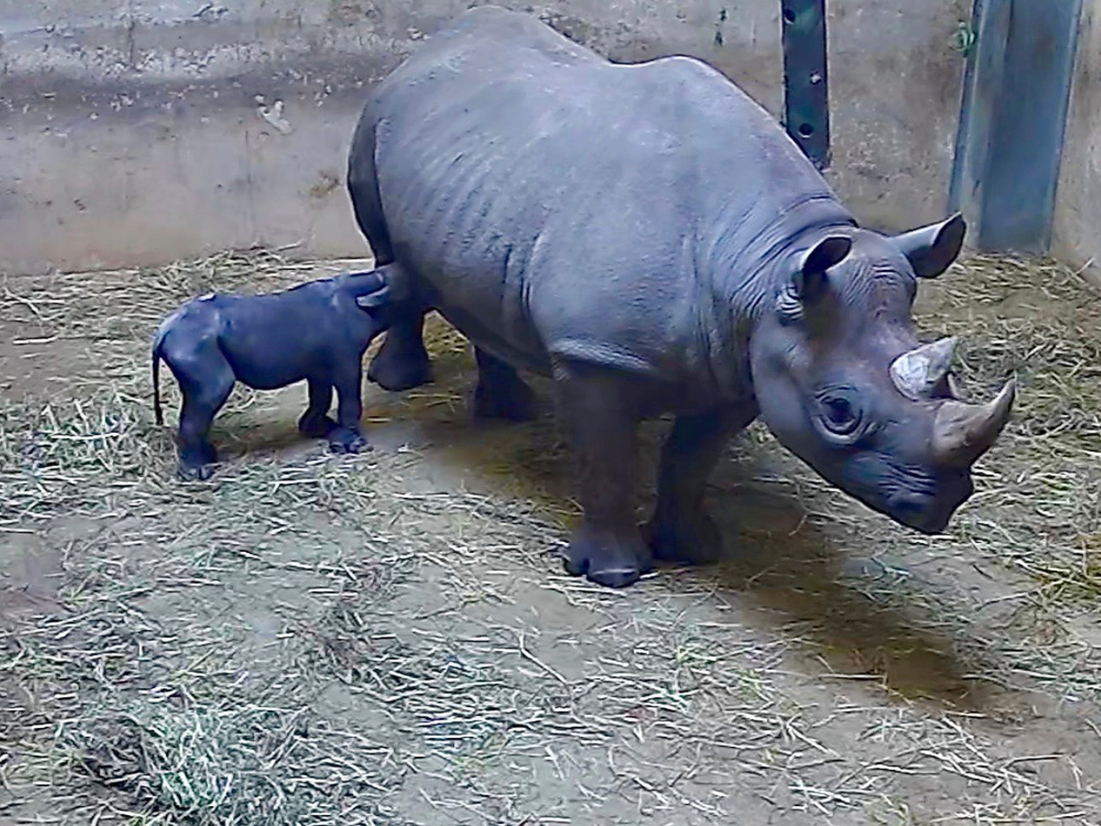 This May 19, 2019 image from video provided by the Lincoln Park Zoo shows Kapuki, an eastern black rhino, nursing her new born calf at the zoo in Chicago. The zoo says Kapuki was pregnant for 15 months before the calf was born Sunday night. Zoo staff members monitored her labor and are watching the rhino and her calf remotely using cameras to give them privacy but are nearby.