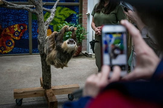 A sloth hangs from a tree as someone takes a picture at the Indianapolis Zoo on Tuesday, May 20, 2019. The two-toed sloth exhibit opens Memorial Day weekend.