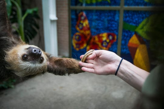 Quinto, also nicknamed Q, holds the hand of caretaker Megan Keen, manager of birds and sloths, with two long fingers at the Indianapolis Zoo, on Tuesday, May 20, 2019. Q is a 15-year-old Huffmann's Sloth and will be featured in the new MISTery Park along with another two-toed Linnaeus, 8-year-old sloth Wilson.