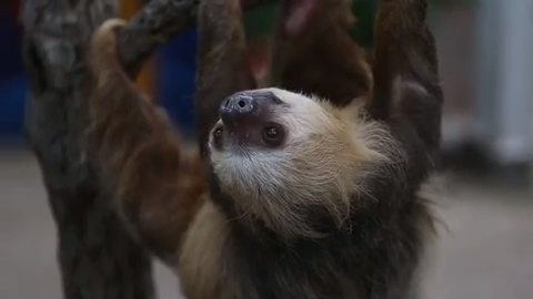 Here are the new sloths and venomous snakes you can see at the Indianapolis Zoo