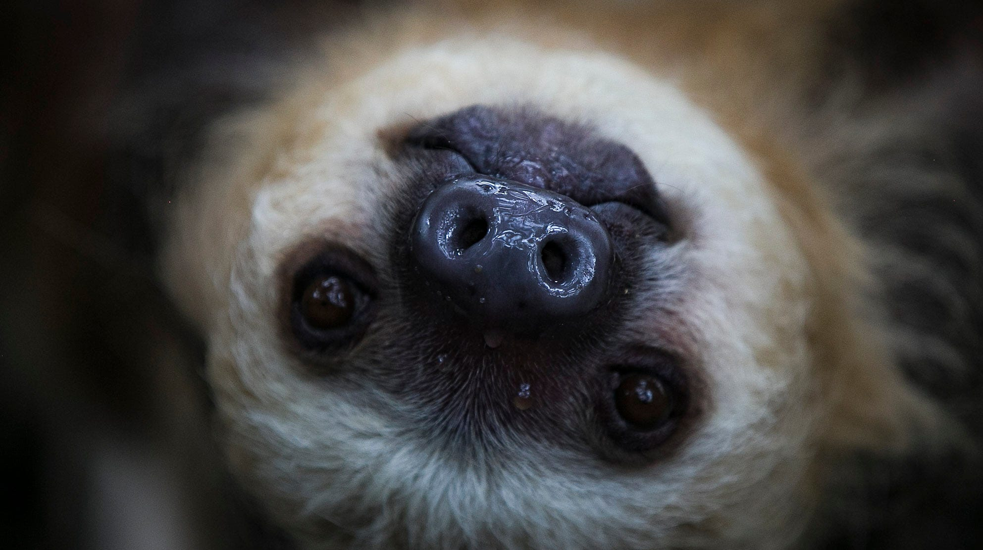 Quinto, or Q, hangs upside down from a tree at the Indianapolis Zoo on Tuesday, May 20, 2019. Quinto and Wilson are the first two sloths to be featured at the zoo's new MISTery Park.