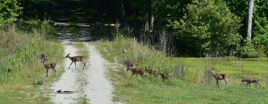 Due to months of flooding which stressed and killed deer in the south Delta, new bag limits and dates have been set for deer season in the area.