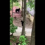 A mama bear and her four cubs were spotted near Shopes Mountain Vacation Homes on North Baden Drive in Gatlinburg. (Video courtesy of Dana Shope)