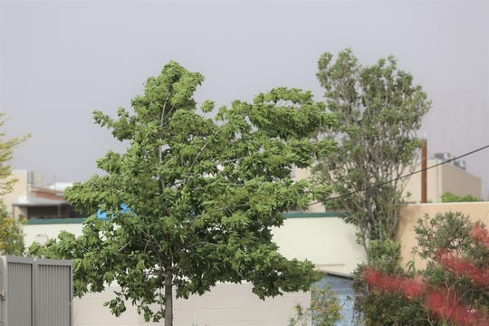 A tree in downtown Las Cruces is bowed by a windstorm that struck the city Monday, May 20, 2019. Dust filled the sky late afternoon.