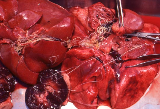 Appearing as white, stringy parasites, heartworm (Dirofilaria immitis) is exposed in the internal organs of a dog during necropsy.
