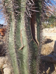 This three-foot saguaro swelled up like a football and broke open, but later healed inside and out.
