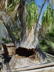 The caudex of this Beaucarnea was overwatered when fully hydrated so it split and rotted nearly half the caudex.