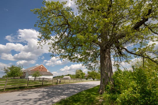 "A swamp oak, near the Trostle Farm on the Gettysburg battlefield, was mature during the Civil War, and is sometimes called the ""Sickels Tree."" General Sickels set up camp near this tree when he was wounded on horseback late in the afternoon on the second day Ñ a Confederate cannon ball tearing through his leg."