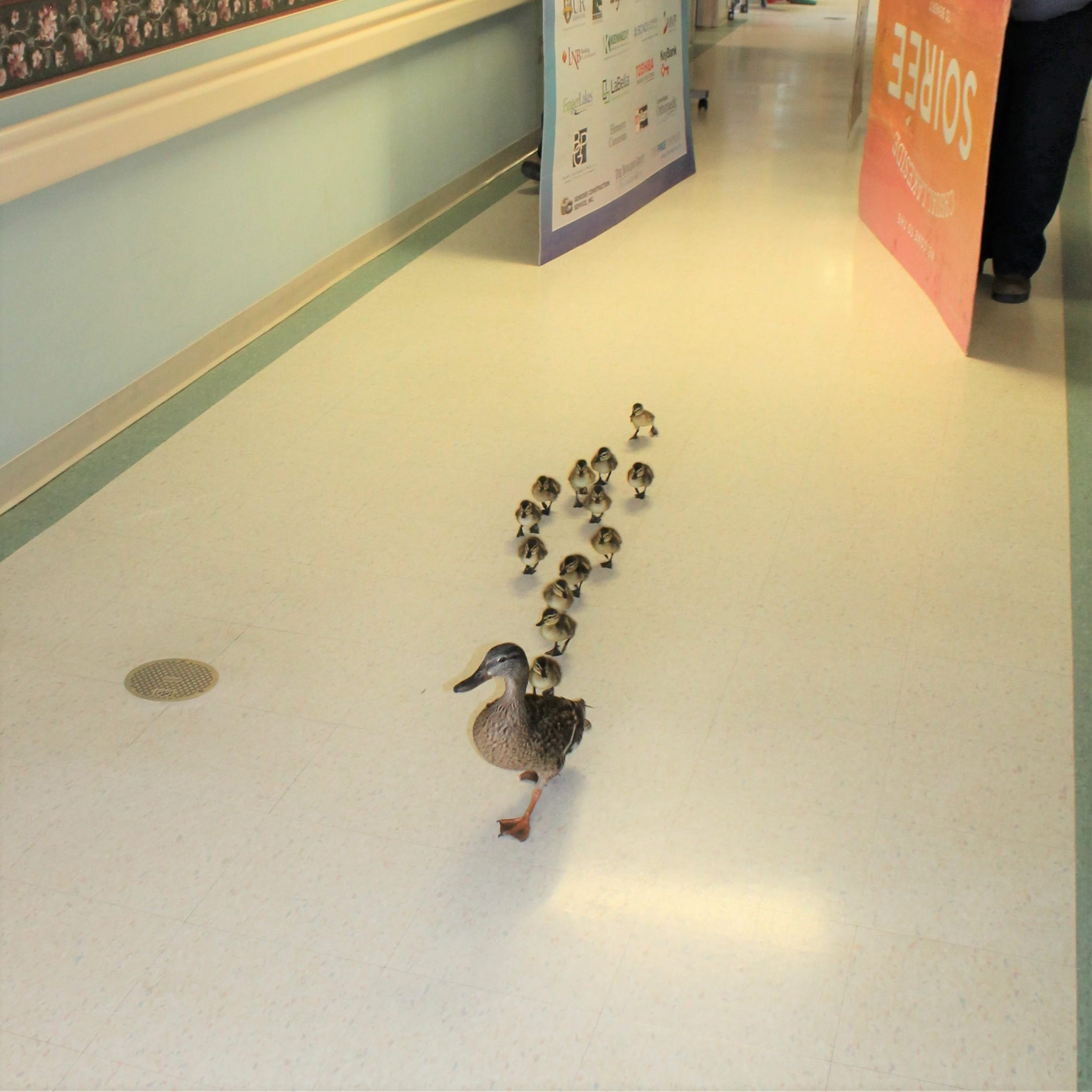 Mama duck parades ducklings down nursing home hallway in Canandaigua. And the story goes viral.