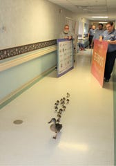 Mother duck parades ducklings down nursing home hallway