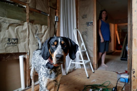 Bo, a blue tick coonhound, stands in his owners' home, Friday, May 10, 2019. The home had to be gutted after Hurricane Michael ripped through the Panhandle seven months ago. The storm hit in Oct. 2018 and left many families homeless or with severely damaged homes.