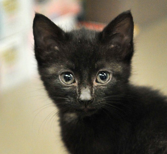 Vega is an 8-week-old male kitten looking for his new home. You can find Vega and all of his kitten friends at the Wichita Falls Animal Service Center located on Hatton Rd.