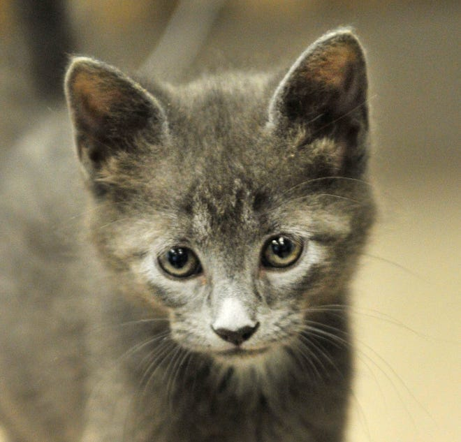 Max is an 8-week-old male kitten looking for his new home. You can find Max and all of his kitten friends at the Wichita Falls Animal Service Center located on Hatton Rd.