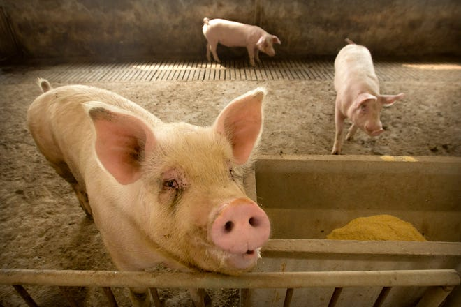 In this May 8, 2019, photo, pigs stand in a barn at a pig farm in Jiangjiaqiao village in northern China's Hebei province. Pork lovers worldwide are wincing at prices that have jumped by up to 40 percent as China's struggle to stamp out African swine fever in its vast pig herds sends shockwaves through global meat markets.