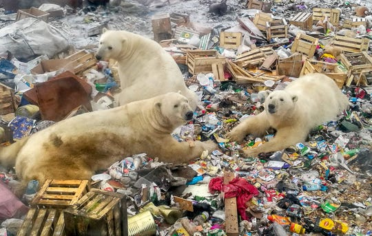 Polar bears forced onto land by Arctic ice melting feed at a garbage dump near Belushya Guba in Russia on Oct. 31, 2018