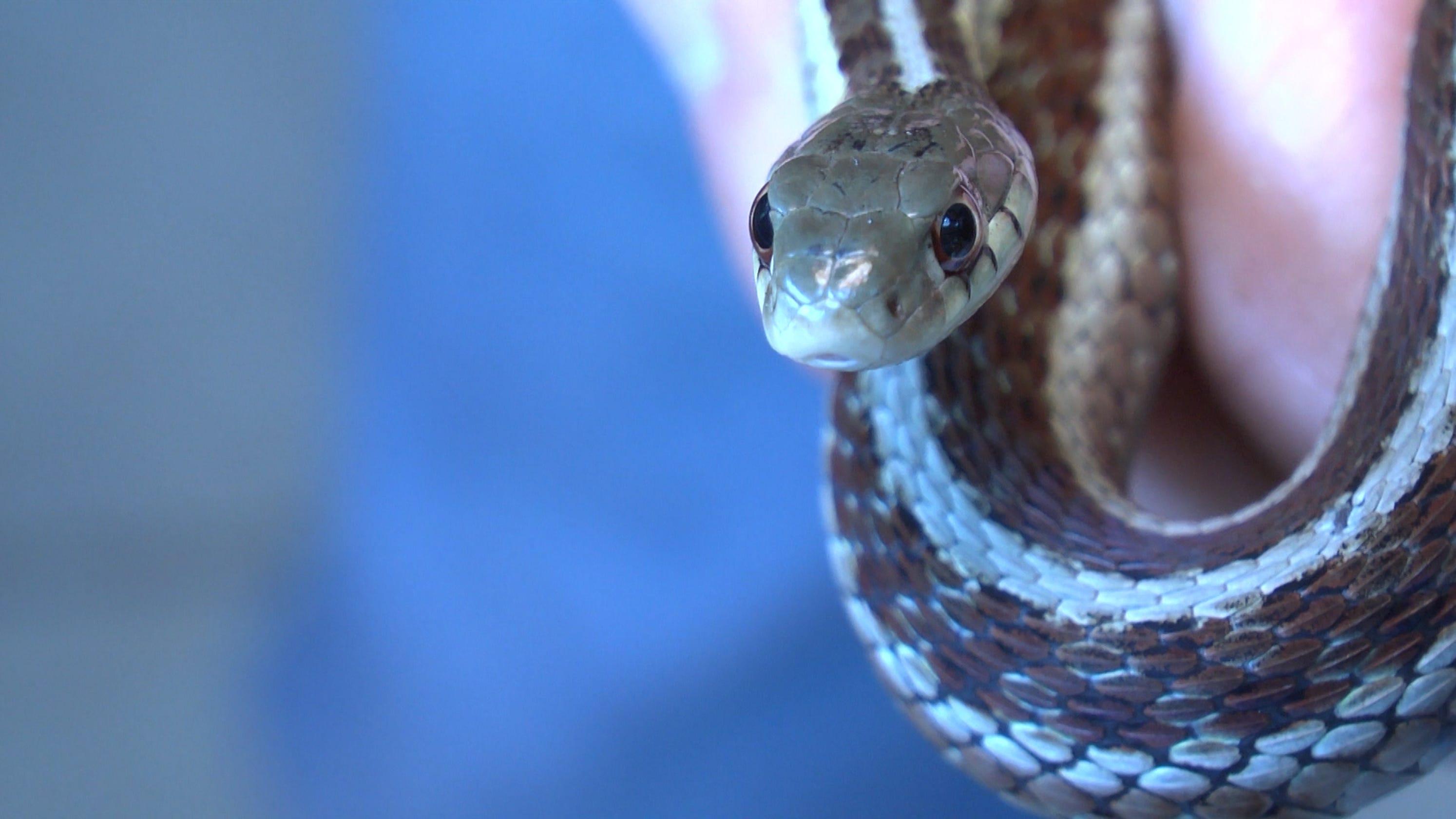 Snake Bite Images, Stock Photos & Vectors   Shutterstock   Garter Snake Teeth