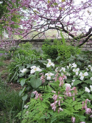 Trilliums and Dutchman's breeches bloom in the soft spring light in this shady flower border, under the graceful arch of a redbud tree. This garden is mostly green in summertime; ferns grow up to fill in as the trilliums disappear until next spring.
