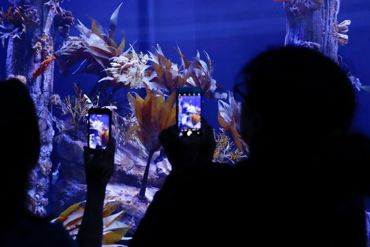 Visitors record images of sea dragons at the Birch Aquarium at the Scripps Institution of Oceanography at the University of California San Diego in San Diego.