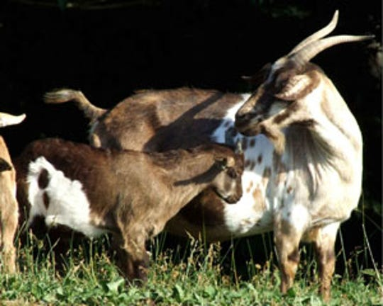 Fainting goats are among the endangered heritage breeds of farm animals.