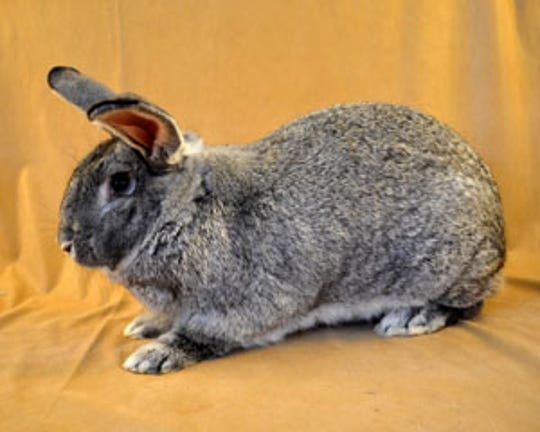 The giant chinchilla rabbit is are among the endangered heritage breeds of farm animals.