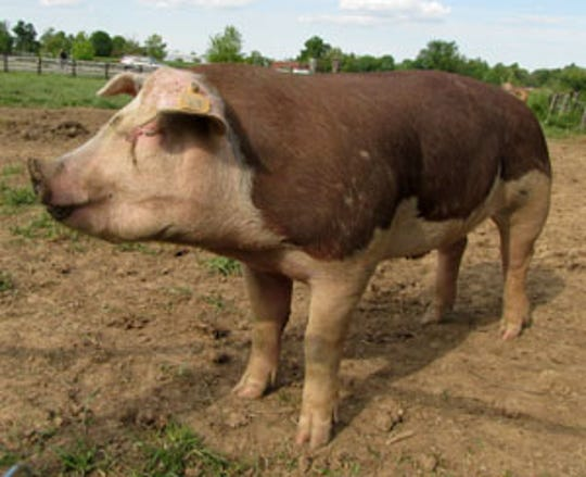 Hereford pig